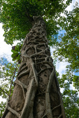 tree top in nature.Vine around the tree trunk