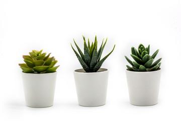 Fototapeta Natural green succulents cactus, Haworthia attenuata in white flowerpot isolated on white background obraz