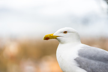close up head shot of a seagull in rome
