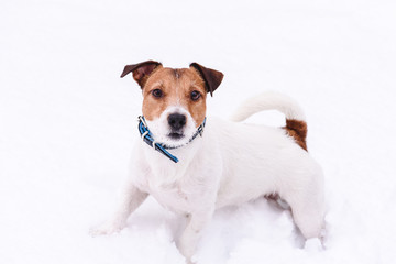 Playing dog on white background in deep snow