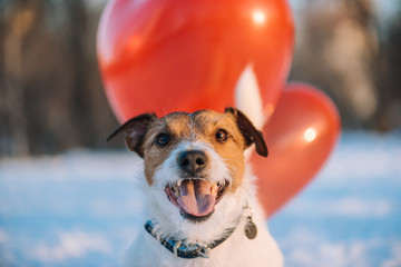 Happy lovely festive face of dog with red air balloons