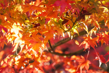 Beautiful maple leaves patterns in autumn on a tree branch close to sunset on a blurred background in a park in Fujikawaguchiko, a resort town in Japan, near the legendary Mount Fuji.