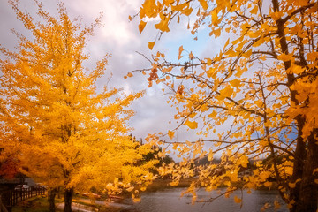 Yellow trees in autumn, Mount Fuji resort, Japan.