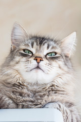 Female cat of siberian breed, grey hair. Pretty kitten indoor in relax