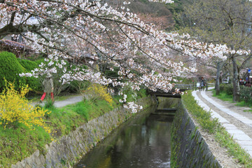 the cherry blossoms on Philosopher Path Kyoto