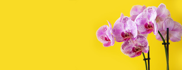 Branch of violet orchid on bright yellow background. Banner with copy space. Spring, woman day concept.