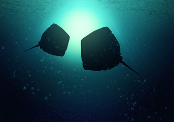 The silhouettes of two rays swim at the level of the ocean
