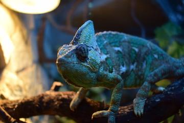 Aluminium Prints Chameleon kameleon