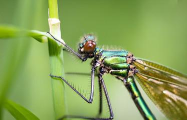 Libelle, Prachtlibelle