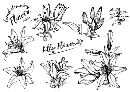 Lilly flower drawing illustration. Black and white with line art on white backgrounds.