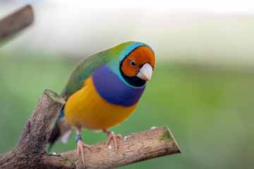 Gouldian finch - the Lady Gouldian finch, Gould's finch or the rainbow finch Fototapete