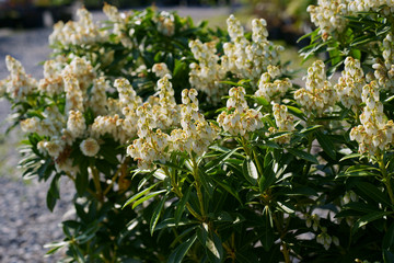 Obraz Pieris japonica Debutante - fototapety do salonu