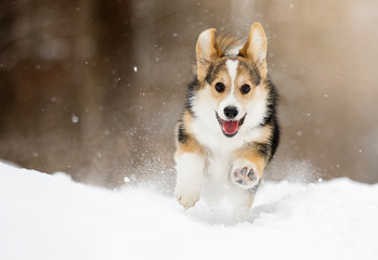 Wall Mural - welsh corgi pembroke puppy running in the snow