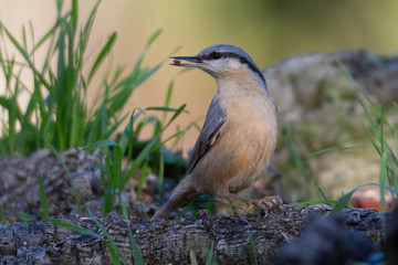 Nuthatch perched on a branch in a forest of Spain