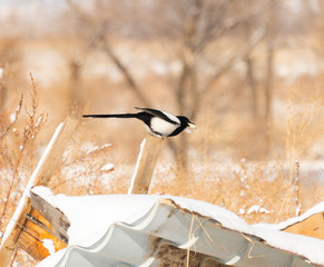 Magpie Pica sits in winter