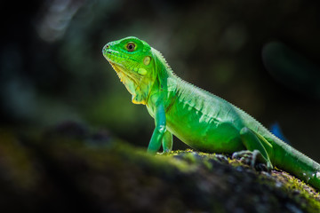 Green Iguana. This iguana have a very vivid color.