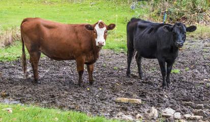 Cow Pals