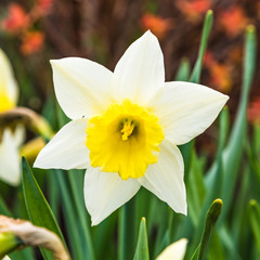 White spring daffodil in the garden, narcissus, close up, macro