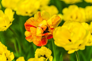 Orange and yellow tulips on a field close up, macro, spring background