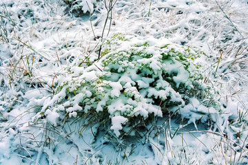 Plants in the snow, autumn snow on the grass.