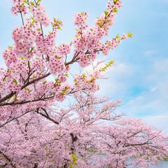 Full bloom sakura at Kitakami Tenshochi park in Japan