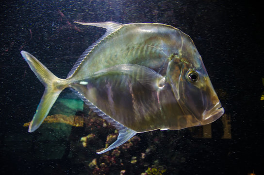 Lookdown Silver tropical fish