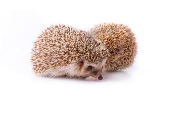 Hedgehog isolated on white background.