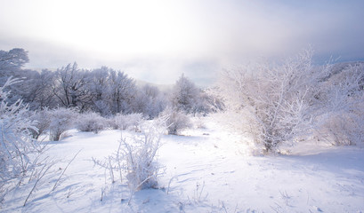 Cold winter morning in mountain forest with snow covered fir trees. Splendid outdoor scene of Stara Planina mountain in Bulgaria. Beauty of nature concept background landscape