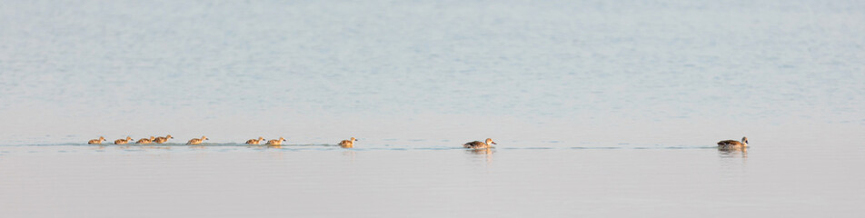 Family of ducks in the Makgadikgadi pans