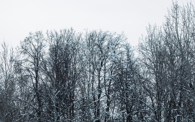 Tree branches in the snow. Winter in the park, winter in the forest. Beautiful winter season background.