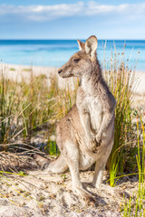 Fotobehang Kangoeroe Australian kangaroo on beautiful remote beach