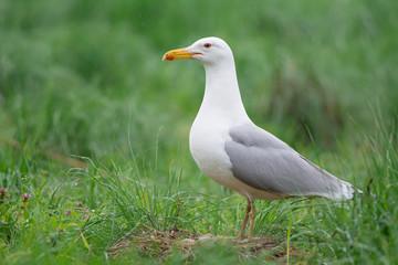 Caspian Gull on nest