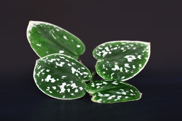 Close up of Scindapsus Pictus Argyreus Satin Pothos plant leaves on dark background