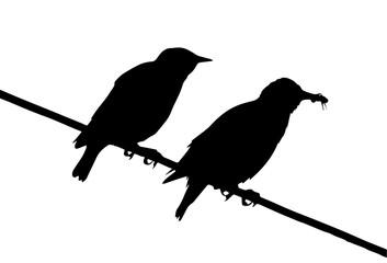 Common starling (Sturnus vulgaris) feeds chick on the power line silhouette