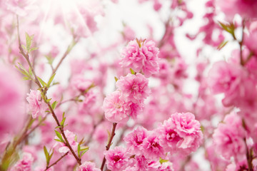 Wall Mural - blurred sakura tree background