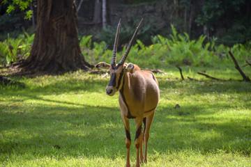 Gazelle im Tsavo East National Park, Gazella, Animali, Afrika, Tsavo East, Dschungel, Zoo