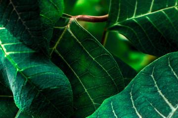 Euphorbia pulcherrima (poinsettia) green leafs.   Wall mural