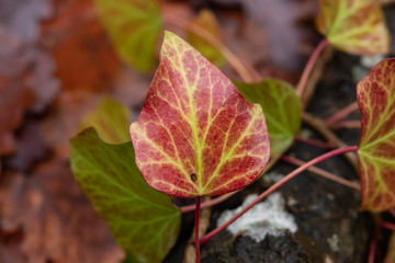 Red Ivy Leaf in Winter