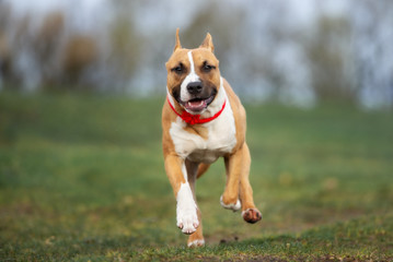 red american staffordshire terrier dogs running outdoors