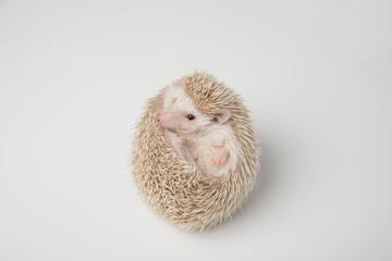 cute white hedgehog resting on its back
