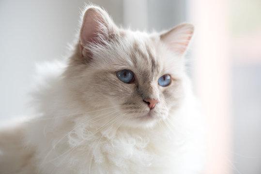Portrait of beautiful sacred cat of burma