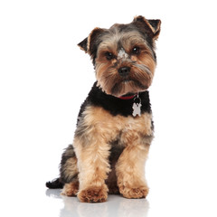 cute yorkshire terrier wearing red collar sits