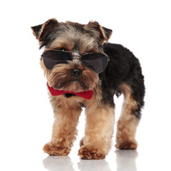 classy yorkshire terrier wearing sunglasses looks down to side