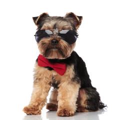 stylish yorkshire terrier wearing sunglasses sitting