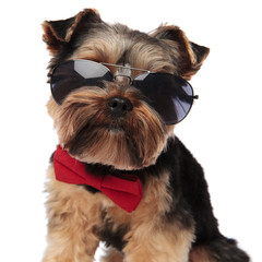 close up of stylish yorkshire terrier wearing sunglasses