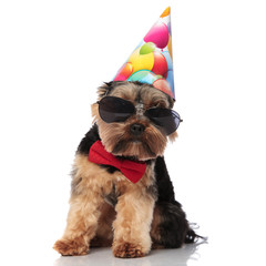 elegant yorkie with sunglasses and birthday cap sitting