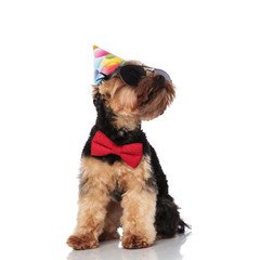 stylish yorkshire terrier wearing birthday hat looks up to side