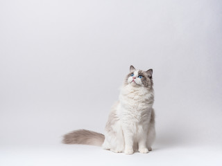A beautiful cute female blue bicolor Ragdoll purebreed cat on a white background.