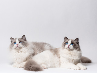 A beautiful cute couple of blue bicolor Ragdoll purebreed cats on a white background.