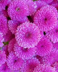violet colored chrysanthemum flowers seamless pattern